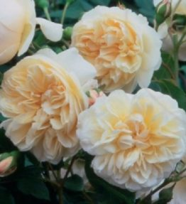 lichfild-angel_anglu-rozes_roza