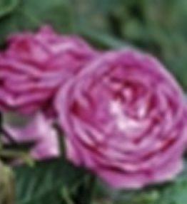 lidija-freimane_parka-rozes_violeta