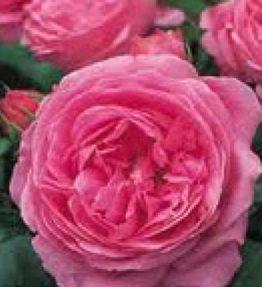 louise-odier(vesturiska)_parka-rozes_roza