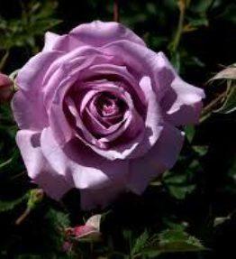 love-song_floribundrozes_violeta