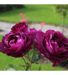 mysterieuse_floribundrozes_violeta