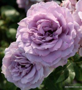 novalis_floribundrozes_violeta