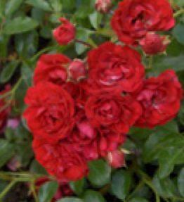 ondella_klajeniskas-rozes_sarkana