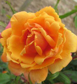orange-blossom-special_vitenrozes_oranza