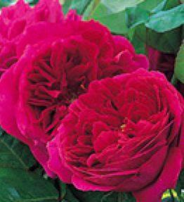 othello_anglu-rozes_violeta