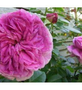 parfum-flower-circus_floribundrozes