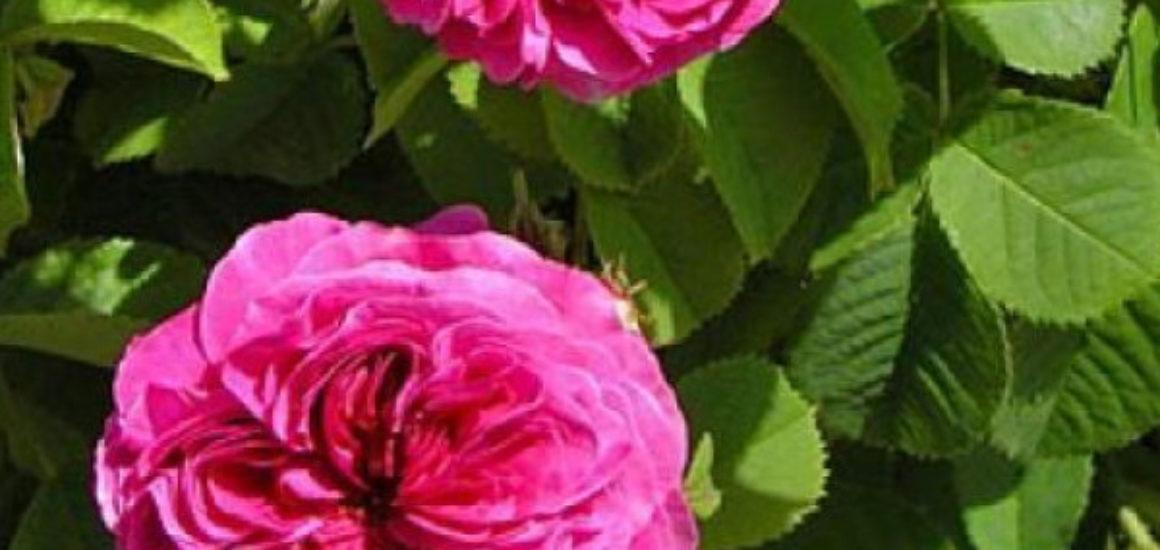 parka-rozes