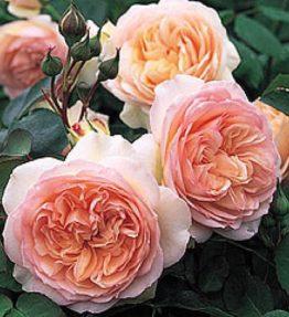 perdit_anglu-rozes_roza