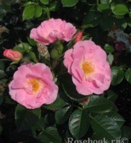 pink-robusta_parka-rozes_roza