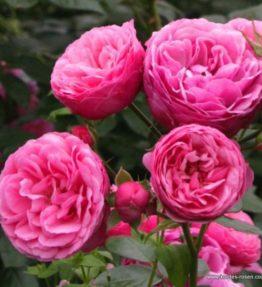 pomponella_floribundrozes_roza