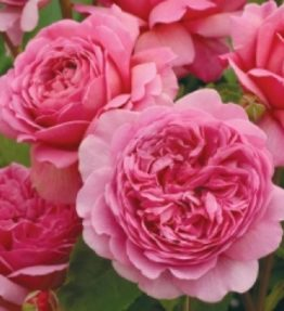princess-aleksandra-of-kent_anglu-rozes_roza