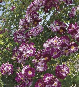 purple-splash_vitenrozes_violeta