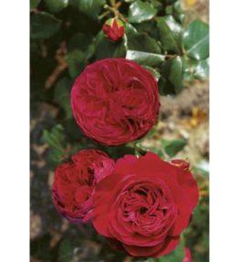 red-leonardo-da-vinci_floribundrozes_sarkana