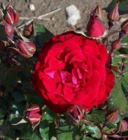 red-splendor_floribundrozes_sarkana