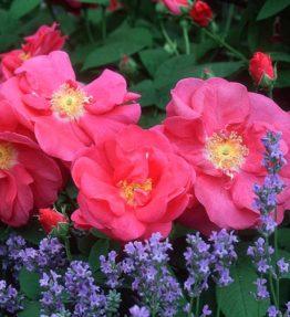 red_damask_parka-rozes_sarkana