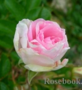 ritausma_parka-rozes_roza