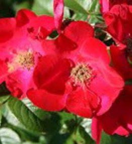 robusta_parka-rozes_sarkana
