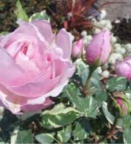 rosa-verschuren_tejhibridrozes_roza