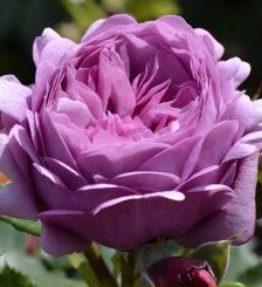 rose-thelma_krumrozes_violeta