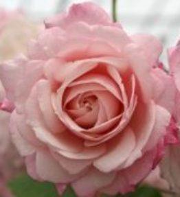 rosenfaszination_floribundrozes_roza