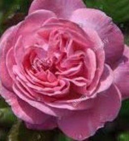 rosengrafin-marie-henriette_floribundrozes_roza