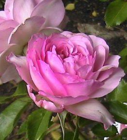 roseraie-de-chatelet_floribundrozes_roza