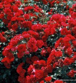 rotilia_floribundrozes_sarkana