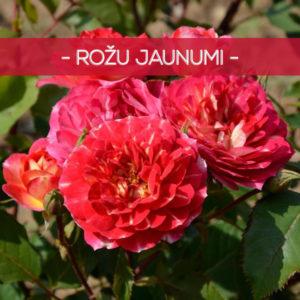 Rožu jaunumi