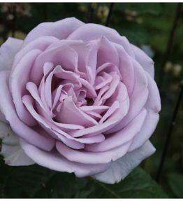 sandra-renaissance_krumrozes_violeta