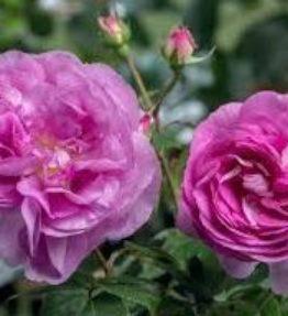 saphier_krumrozes_violeta