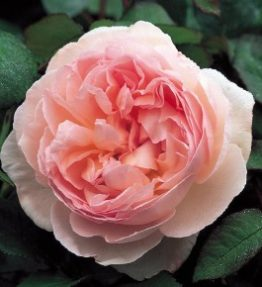 sharifa-asma_anglu-rozes
