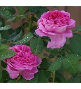 sir-henry_parka-rozes_violeta