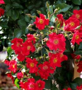 sommerabend_klajeniskas-rozes_sarkana