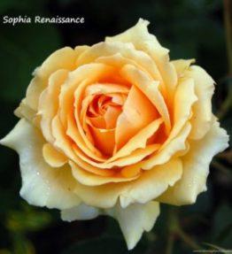 sophia-renaissance_krumrozes_dzeltena