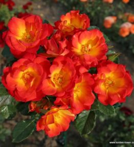 summer-of-love_floribundrozes_dzeltena