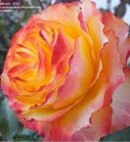 sunrise-rose_floribundrozes_dzeltena
