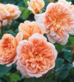 tea_cliper_anglu-rozes_oranza
