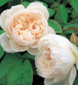 the-generous-gardener_anglu-rozes_balta
