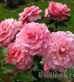 tickled-pink_floribundrozes_roza