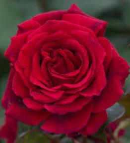 velvet-fragrance_tejhibridrozes_sarkana