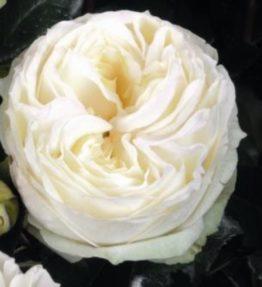 wedding-piano_tejhibridrozes_balta