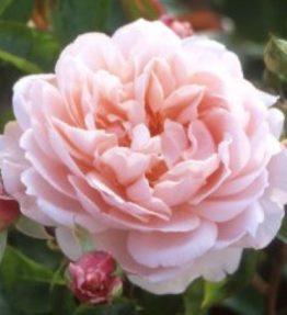 wildeve_anglu-rozes_roza