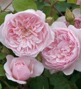 wisley_anglu-rozes_roza