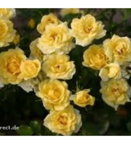 yellow-fairy_klajeniskas-rozes_dzeltena