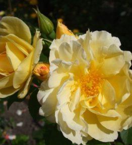 yellow_dagmar_hastrup_parka_roze_dzeltena