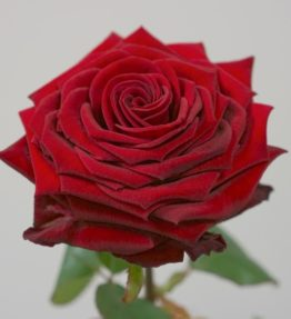 Extreme-Red-naomi-roses-1
