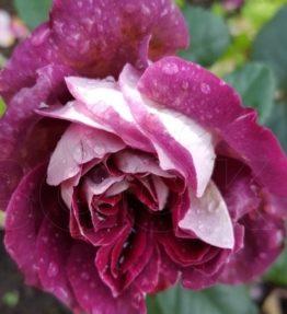 Sparkle burgundy