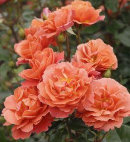 Theodor-Fontane-Rose-1_480x480