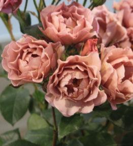 lavender-pinocchio3-rose2013